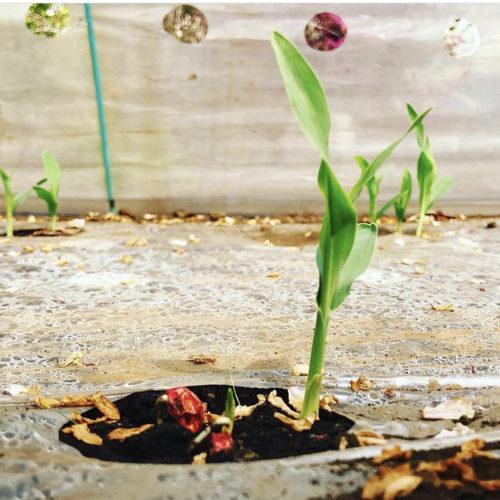 トウモロコシ🌱種を植えて2週間