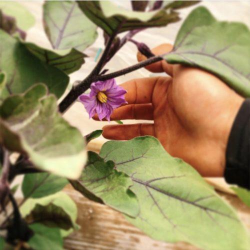 ナス🍆の花✨と農家さんの手👨🌾