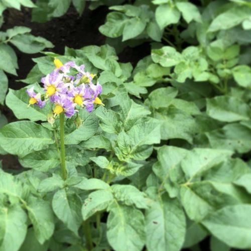 じゃがいもの花🌼だって品種によって違う色。